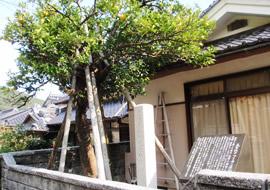 夏みかん原樹